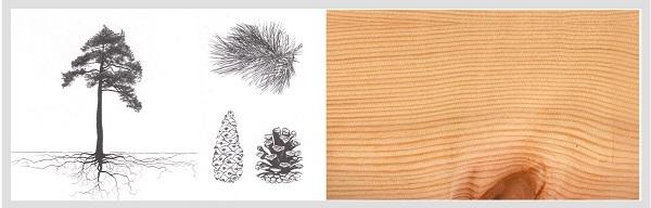 1 Borovica lesná (sosna) (Pinus silvestris)
